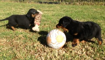 rotty-pup-pic-1