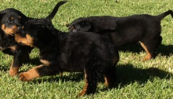 rotty-pup-pic-2